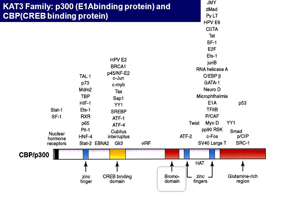KAT3 Family: p300 (E1Abinding protein) and CBP(CREB binding protein)