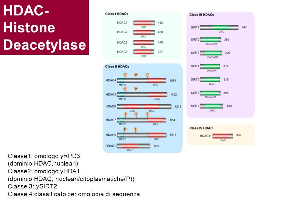 HDAC- Histone Deacetylase Classe1: omologo yRPD3 (dominio HDAC,nucleari) Classe2: omologo yHDA1 (dominio HDAC, nucleari/citoplasmatiche(P)) Classe 3: