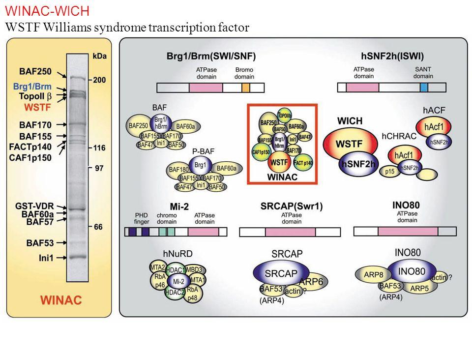 WINAC-WICH WSTF Williams syndrome transcription factor