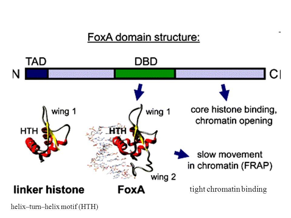 helix–turn–helix motif (HTH) tight chromatin binding