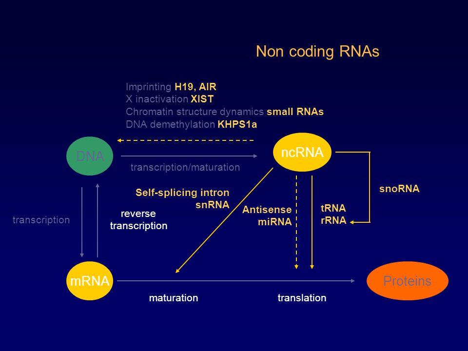 Non coding RNAs ncRNA DNA transcription reverse transcription Proteins translation mRNA tRNA rRNA Antisense miRNA transcription/maturation snoRNA matu