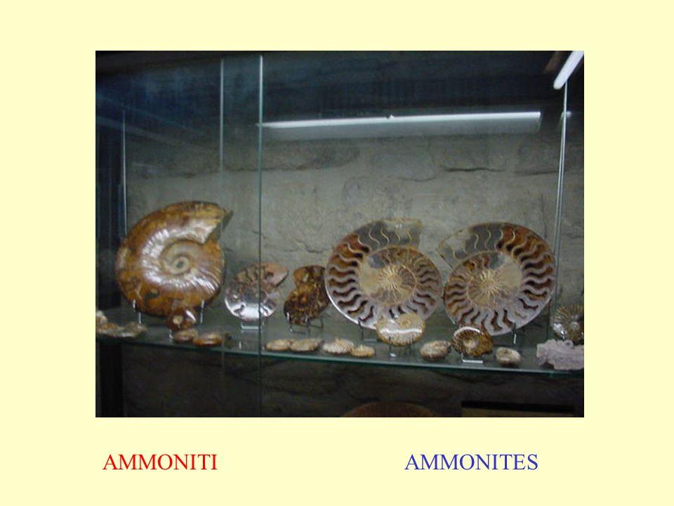 AMMONITI AMMONITES