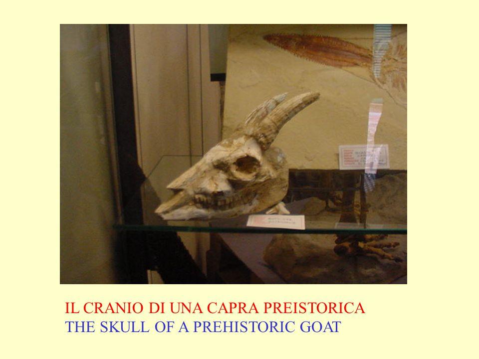 IL CRANIO DI UNA CAPRA PREISTORICA THE SKULL OF A PREHISTORIC GOAT