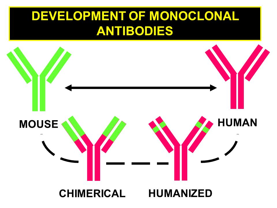 MOUSE CHIMERICAL HUMANIZED HUMAN DEVELOPMENT OF MONOCLONAL ANTIBODIES