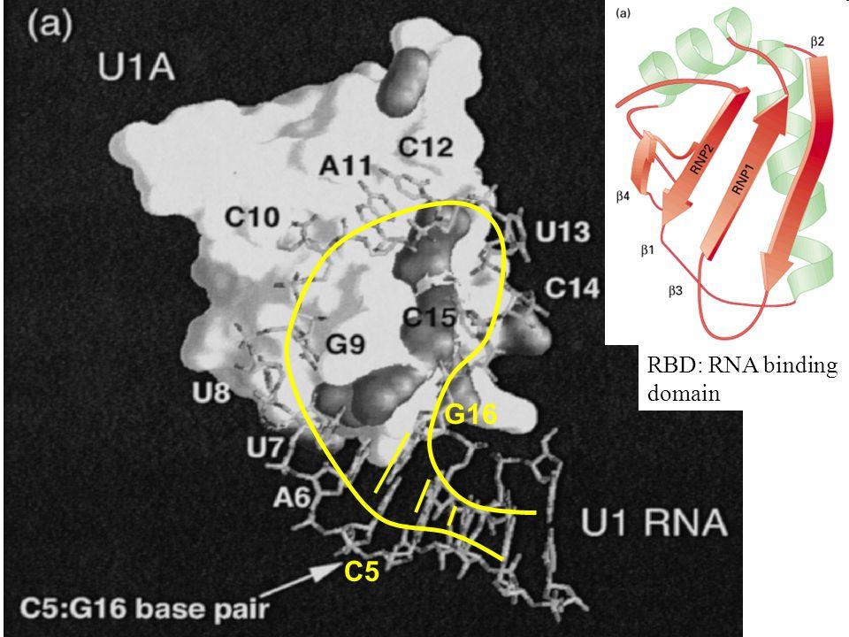 C5 G16 RBD: RNA binding domain