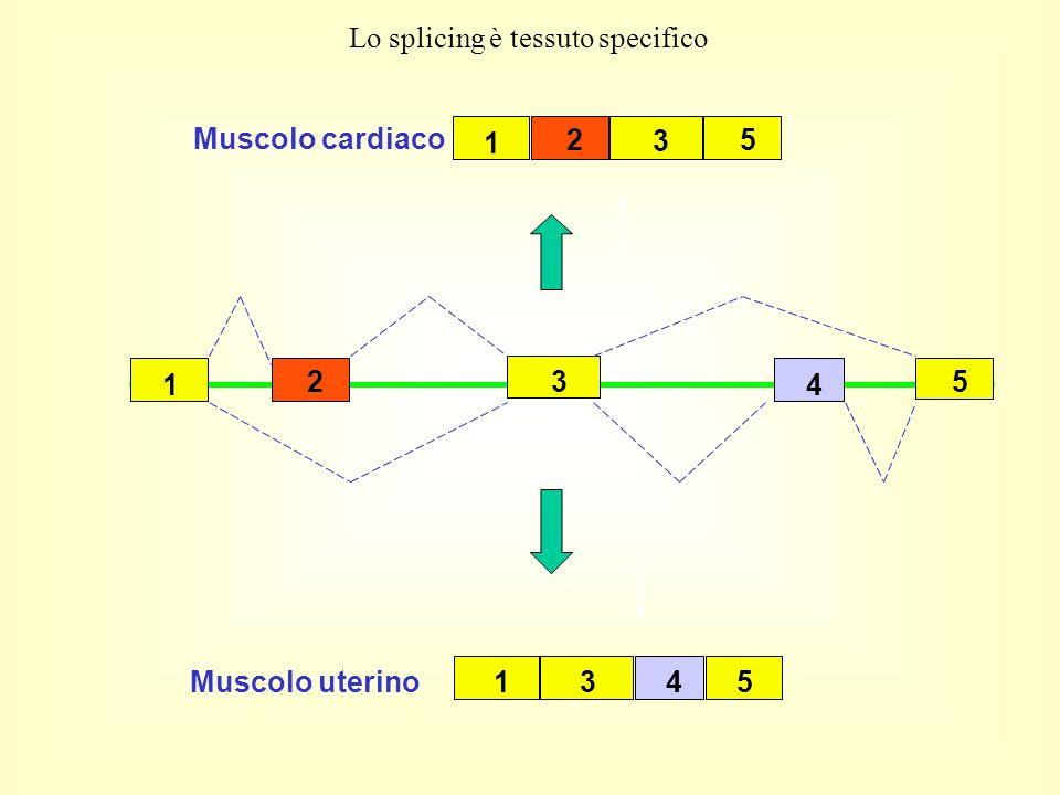 3 5 4 1 2 1 2 3 5 Muscolo cardiaco 1435 Muscolo uterino Lo splicing è tessuto specifico