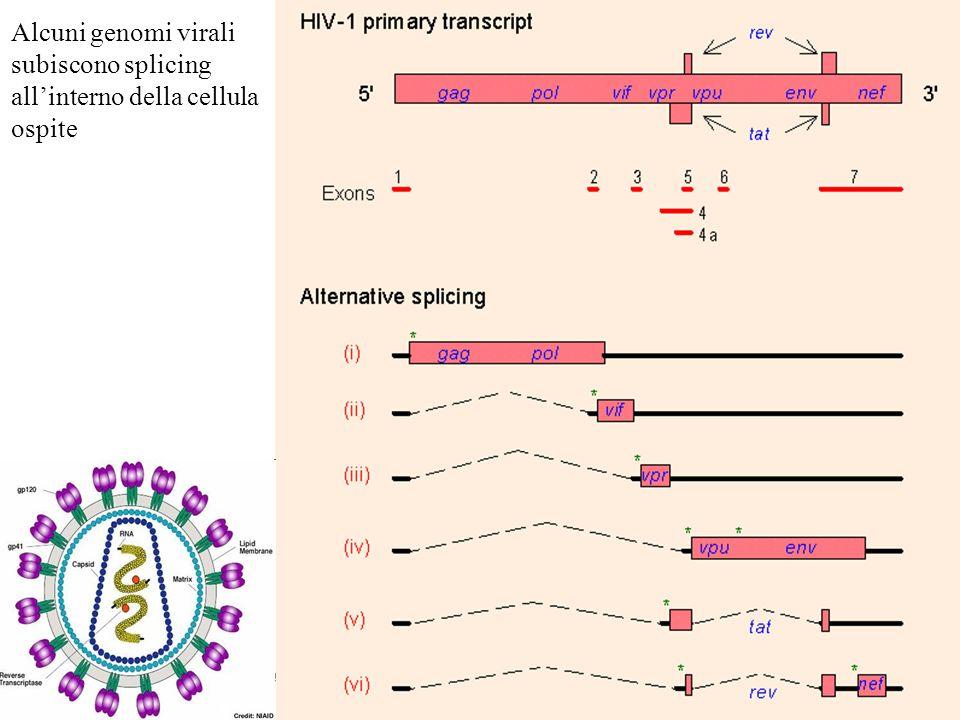 Alcuni genomi virali subiscono splicing allinterno della cellula ospite