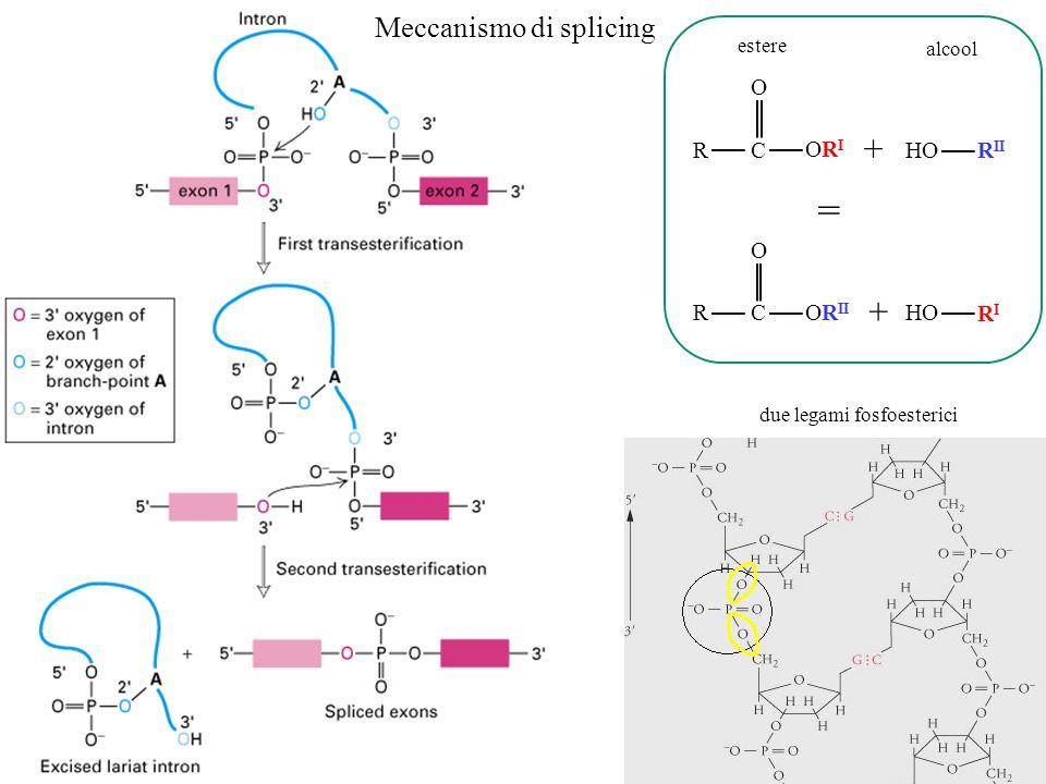 RC ORIORI O HO R II + = RC OR II O HO RIRI + Meccanismo di splicing estere alcool due legami fosfoesterici