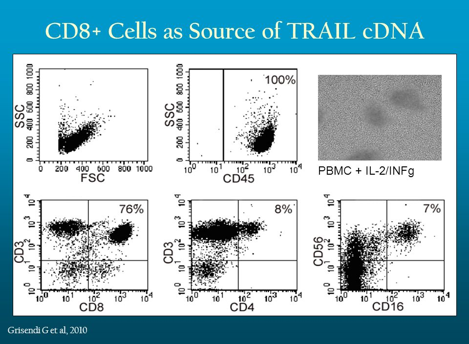 CD8+ Cells as Source of TRAIL cDNA Full-length human TRAIL gene was amplified from cDNA obtained from stimulated CD8+ cells A bicistronic murine stem cell virus–derived viral vector (pMIGR1) encoding for green fluorescent protein (GFP) was generated including the full-length human TRAIL cDNA Grisendi G et al, 2010 Transduced AD-MSC IRES GFP pMIGR1 GFP 6065 bp TRAIL cDNA PBMC + IL-2/INFg