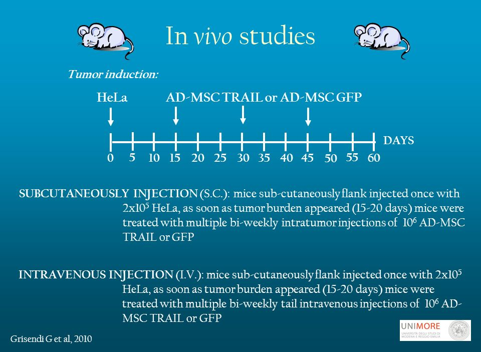 In vivo studies Tumor induction: HeLa AD-MSC TRAIL or AD-MSC GFP SUBCUTANEOUSLY INJECTION (S.C.): mice sub-cutaneously flank injected once with 2x10 5 HeLa, as soon as tumor burden appeared (15-20 days) mice were treated with multiple bi-weekly intratumor injections of 10 6 AD-MSC TRAIL or GFP INTRAVENOUS INJECTION (I.V.): mice sub-cutaneously flank injected once with 2x10 5 HeLa, as soon as tumor burden appeared (15-20 days) mice were treated with multiple bi-weekly tail intravenous injections of 10 6 AD- MSC TRAIL or GFP DAYS Grisendi G et al, 2010