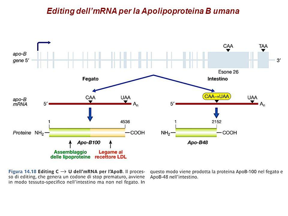 Editing dellmRNA per la Apolipoproteina B umana