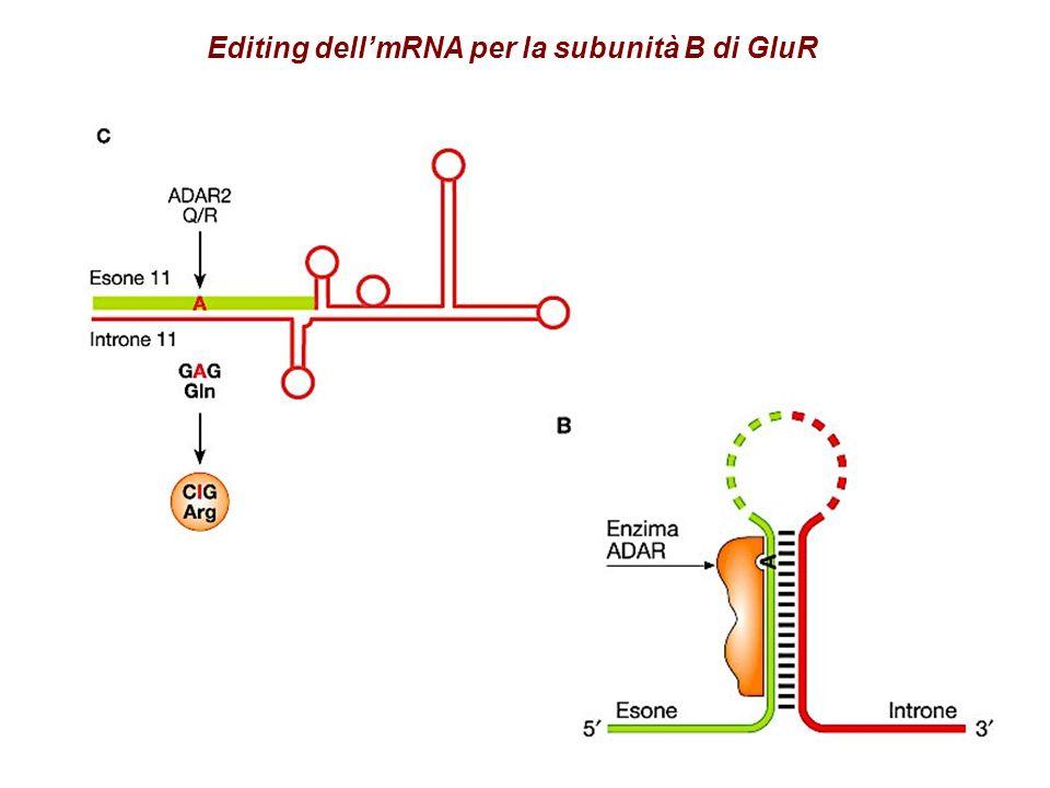 Editing dellmRNA per la subunità B di GluR