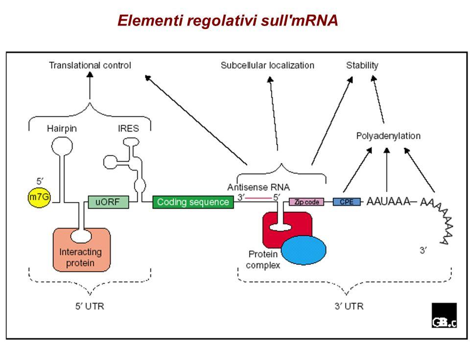 Elementi regolativi sull mRNA