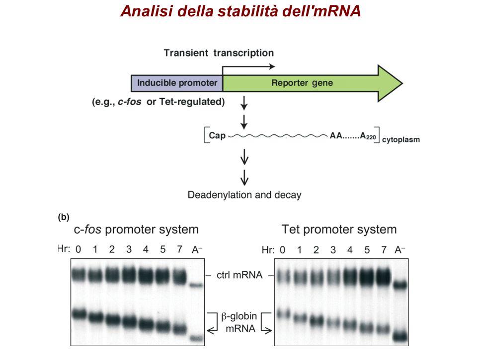 Analisi della stabilità dell mRNA