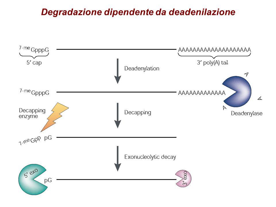 Degradazione dipendente da deadenilazione