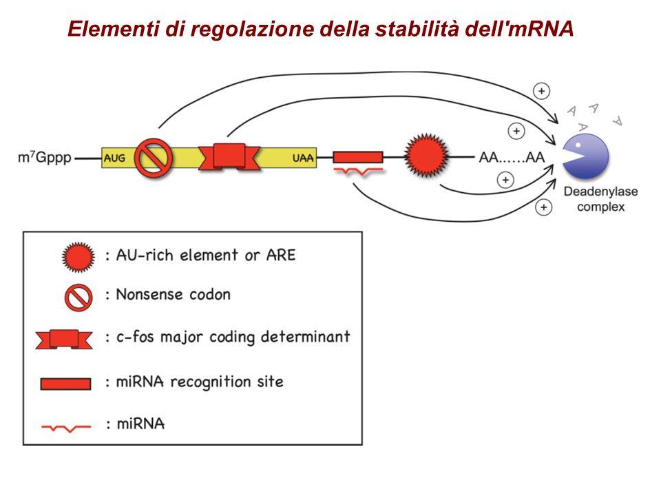 Elementi di regolazione della stabilità dell mRNA