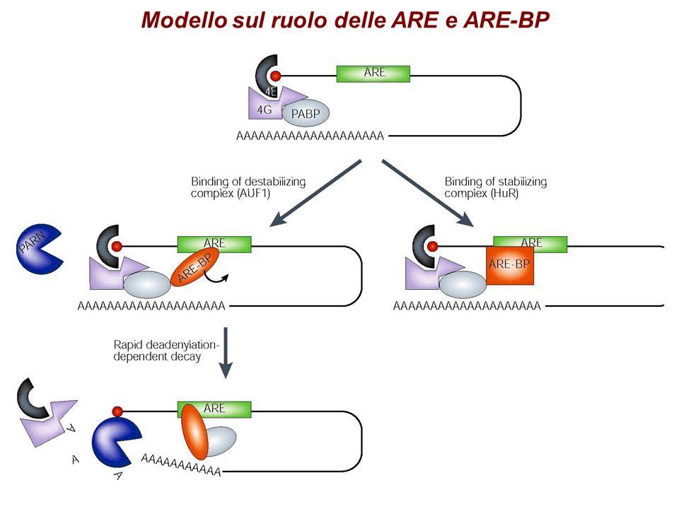 Modello sul ruolo delle ARE e ARE-BP