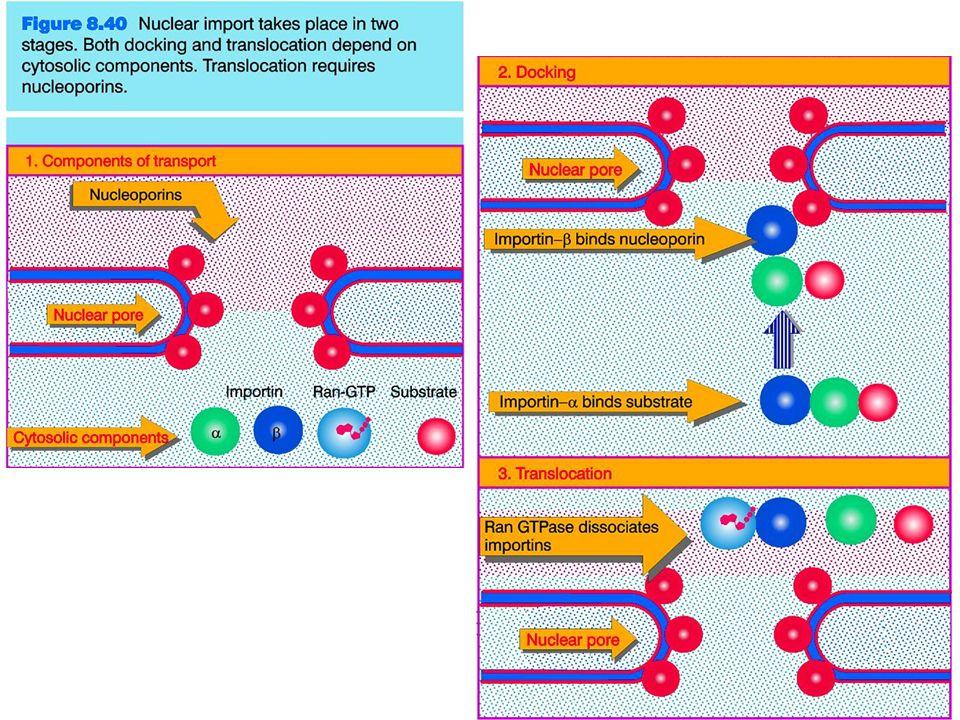 Trasporto dell mRNA