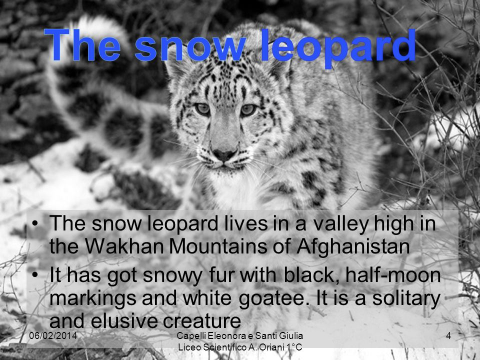 The snow leopard lives in a valley high in the Wakhan Mountains of Afghanistan It has got snowy fur with black, half-moon markings and white goatee.