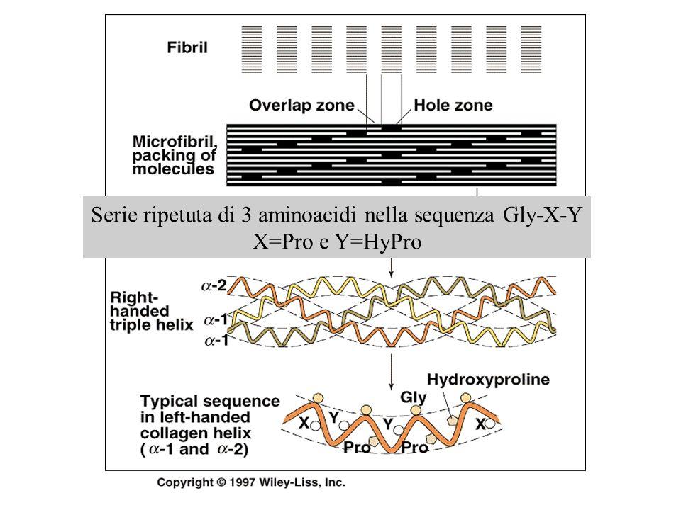 Serie ripetuta di 3 aminoacidi nella sequenza Gly-X-Y X=Pro e Y=HyPro