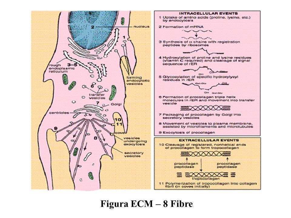 Figura ECM – 8 Fibre