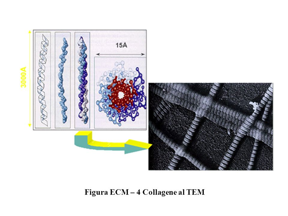 Figura ECM – 4 Collagene al TEM