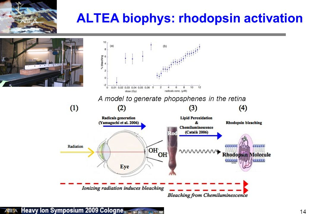 February 24 2006 14 ALTEA biophys: rhodopsin activation A model to generate phopsphenes in the retina