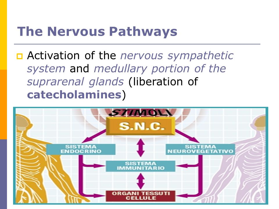 The Nervous Pathways Activation of the nervous sympathetic system and medullary portion of the suprarenal glands (liberation of catecholamines)