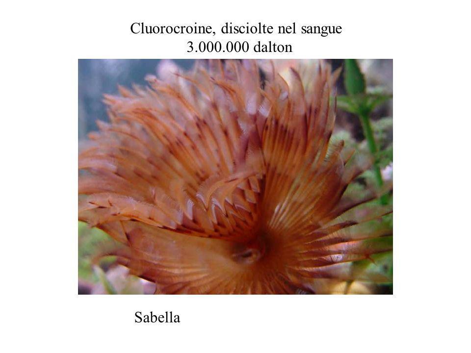 Sabella Cluorocroine, disciolte nel sangue 3.000.000 dalton