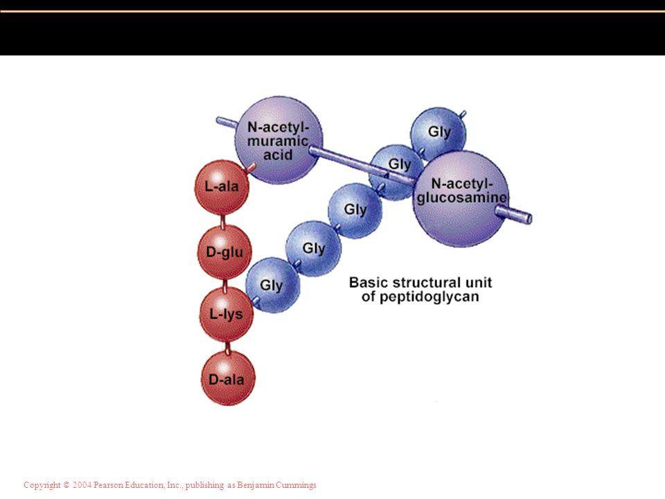 Copyright © 2004 Pearson Education, Inc., publishing as Benjamin Cummings Polymer of disaccharide N-acetylglucosamine (NAG) & N-acetylmuramic acid (NA