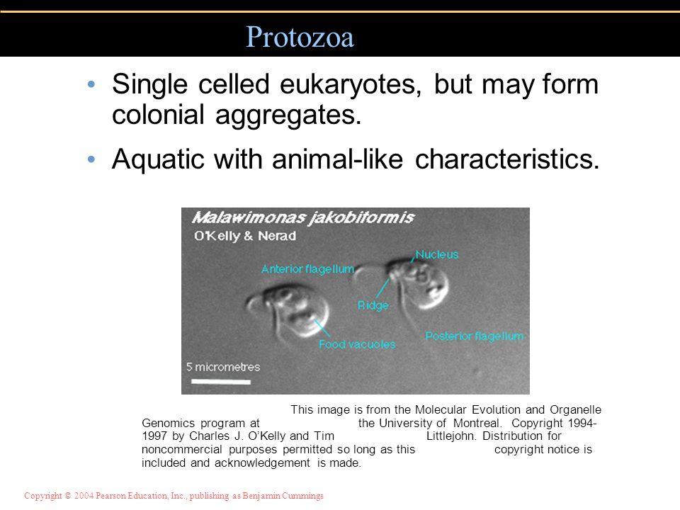 Copyright © 2004 Pearson Education, Inc., publishing as Benjamin Cummings Algae 3 Important marine food source.