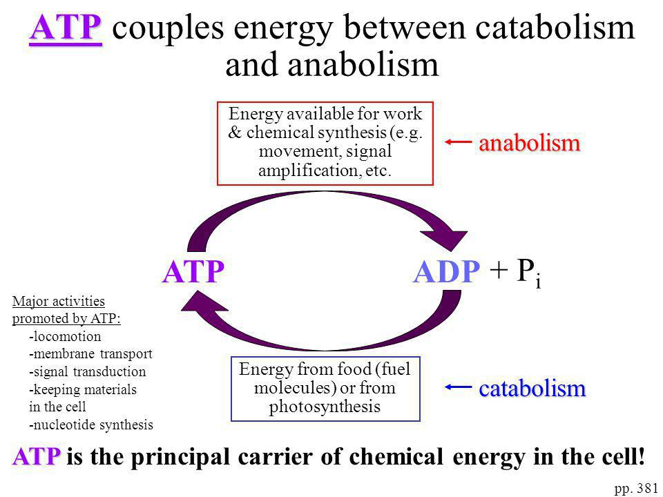 pp. 381 ATP ATP couples energy between catabolism and anabolism catabolism anabolism ADPATP + P i Energy from food (fuel molecules) or from photosynth