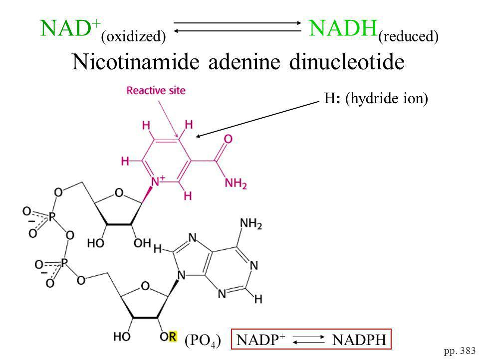 Nicotinamide adenine dinucleotide (PO 4 )NADP + NADPH pp. 383 H: (hydride ion) NAD + (oxidized) NADH (reduced)