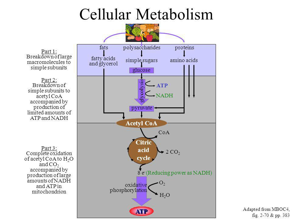 Cellular Metabolism Part 1: Breakdown of large macromolecules to simple subunits Part 2: Breakdown of simple subunits to acetyl CoA accompanied by pro