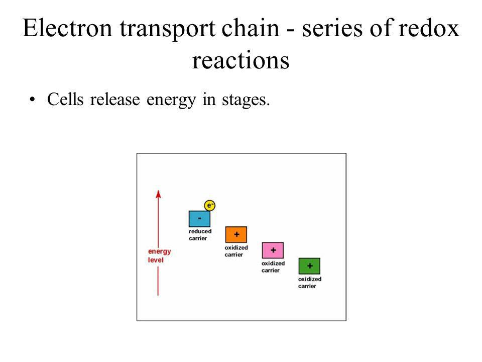 Electron transport chain - series of redox reactions Cells release energy in stages.