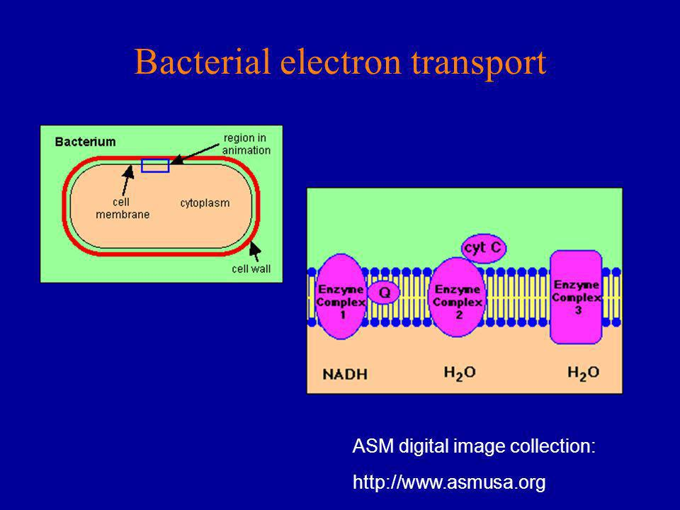 Bacterial electron transport ASM digital image collection: http://www.asmusa.org