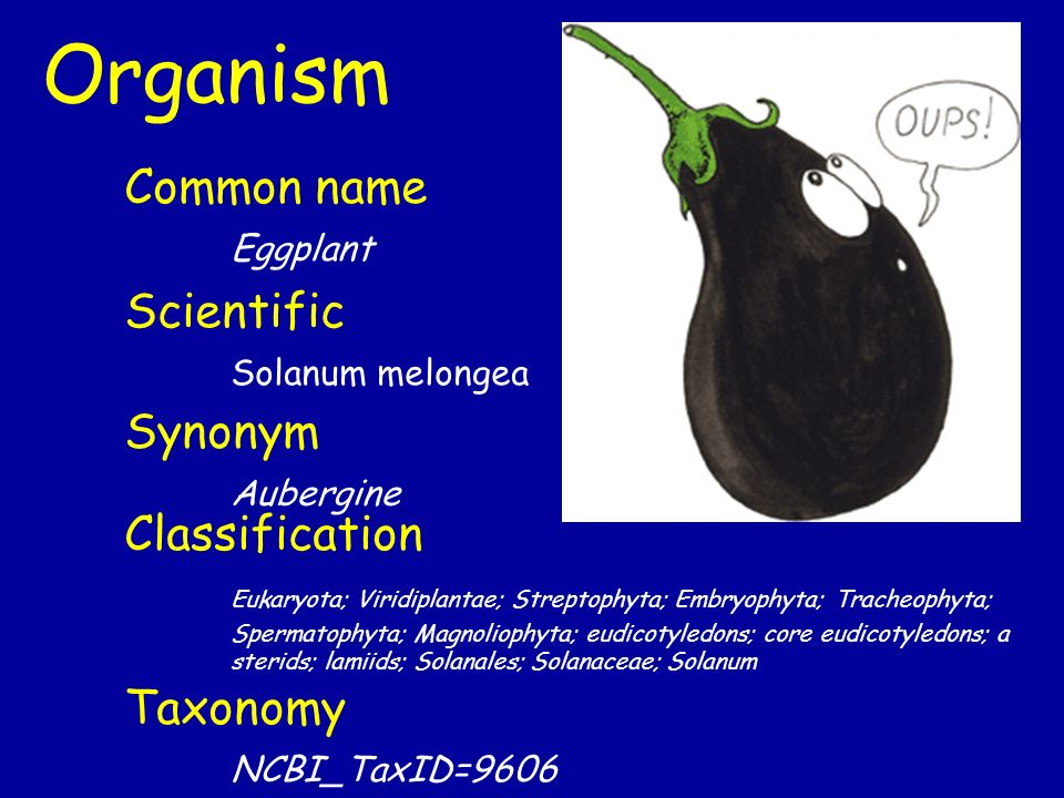 Organism Common name Eggplant Scientific Solanum melongea Synonym Aubergine Classification Eukaryota; Viridiplantae; Streptophyta; Embryophyta; Tracheophyta; Spermatophyta; Magnoliophyta; eudicotyledons; core eudicotyledons; a sterids; lamiids; Solanales; Solanaceae; Solanum Taxonomy NCBI_TaxID=9606