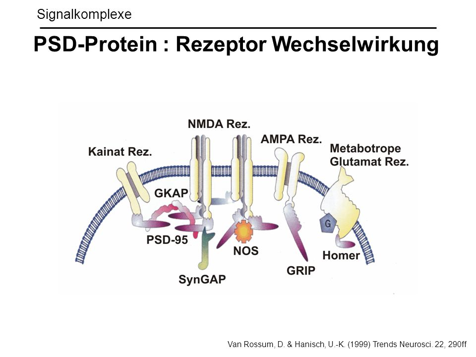 Signalkomplexe PSD-Protein : Rezeptor Wechselwirkung Van Rossum, D. & Hanisch, U.-K. (1999) Trends Neurosci. 22, 290ff