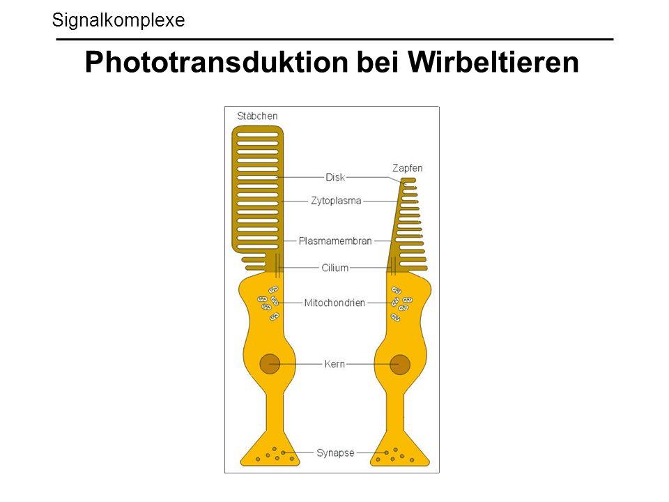 Signalkomplexe Phototransduktion bei Wirbeltieren