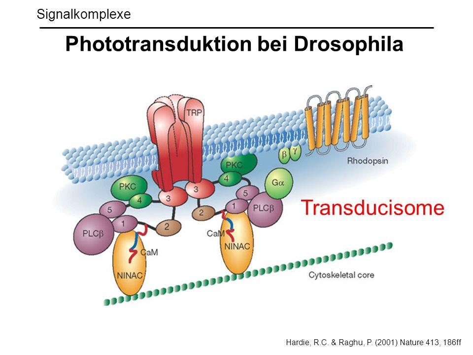 Signalkomplexe Phototransduktion bei Drosophila Transducisome Hardie, R.C. & Raghu, P. (2001) Nature 413, 186ff