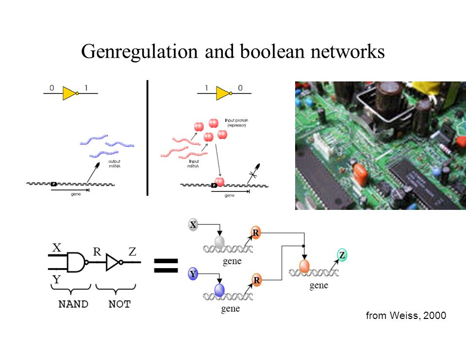 Genregulation and boolean networks from Weiss, 2000