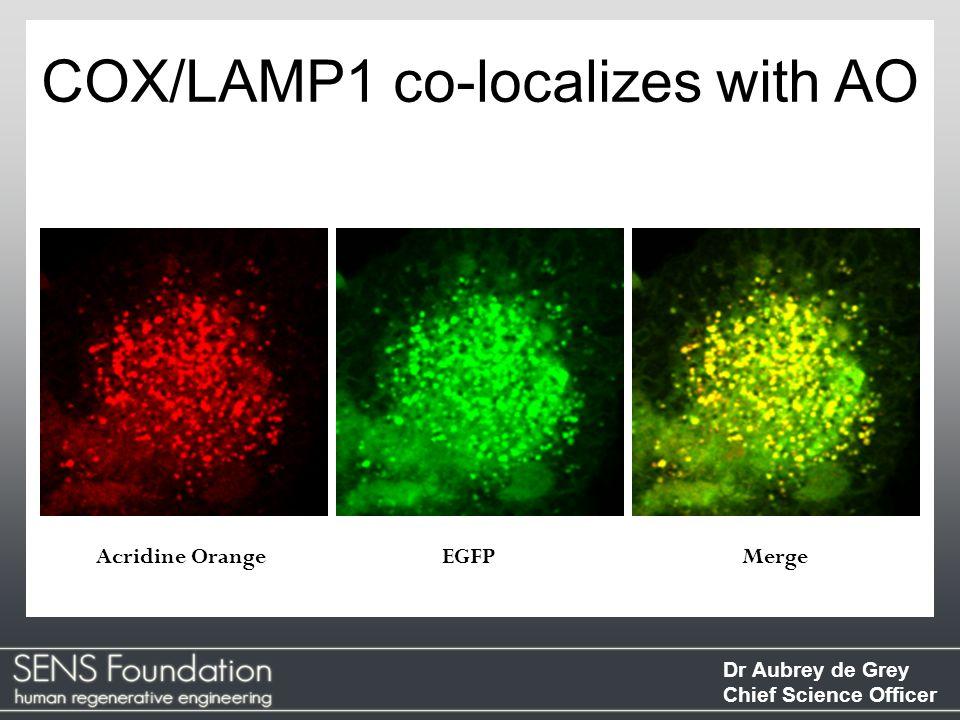 Dr Aubrey de Grey Chief Science Officer COX/LAMP1 co-localizes with AO Acridine OrangeEGFPMerge