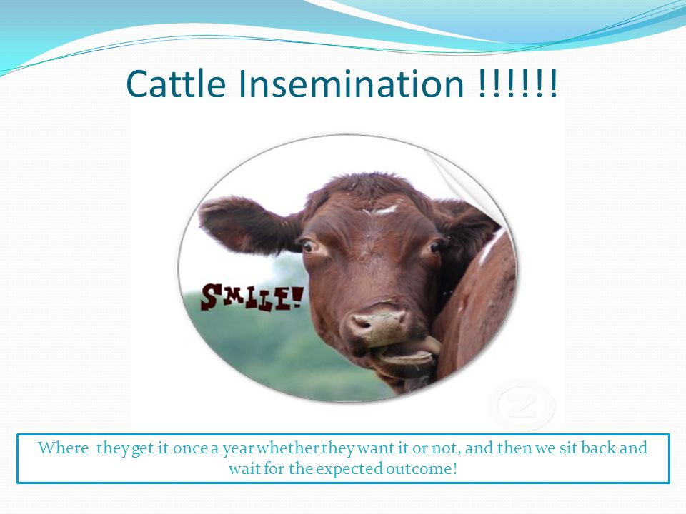 Cattle Insemination !!!!!.