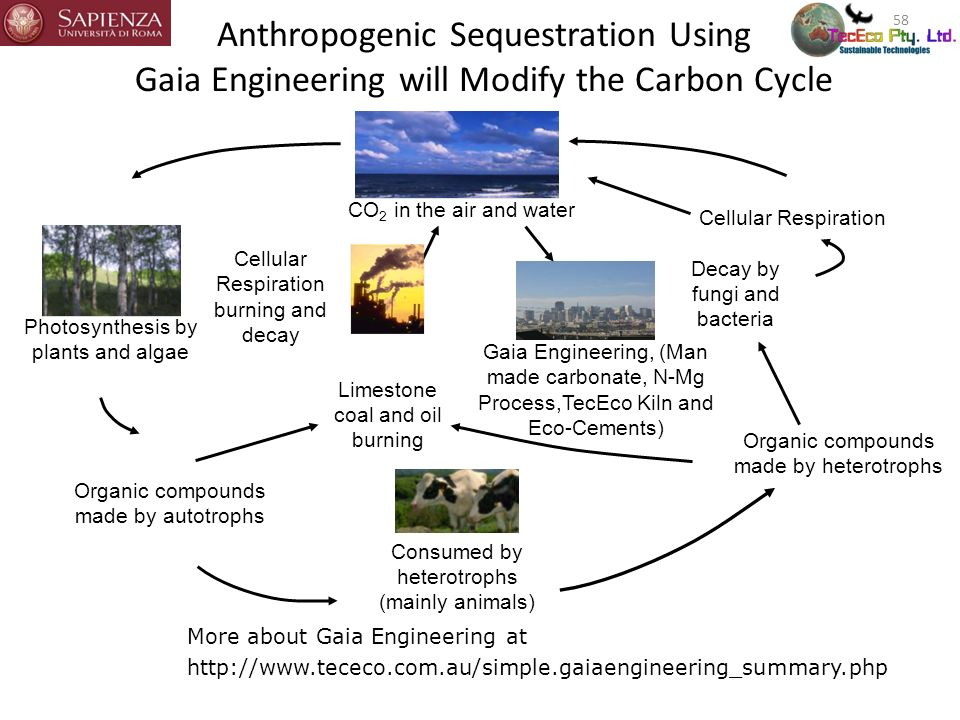 Anthropogenic Sequestration Using Gaia Engineering will Modify the Carbon Cycle 58 Photosynthesis by plants and algae Consumed by heterotrophs (mainly