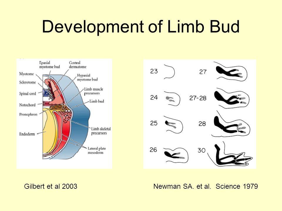 Development of Limb Bud Newman SA. et al. Science 1979Gilbert et al 2003