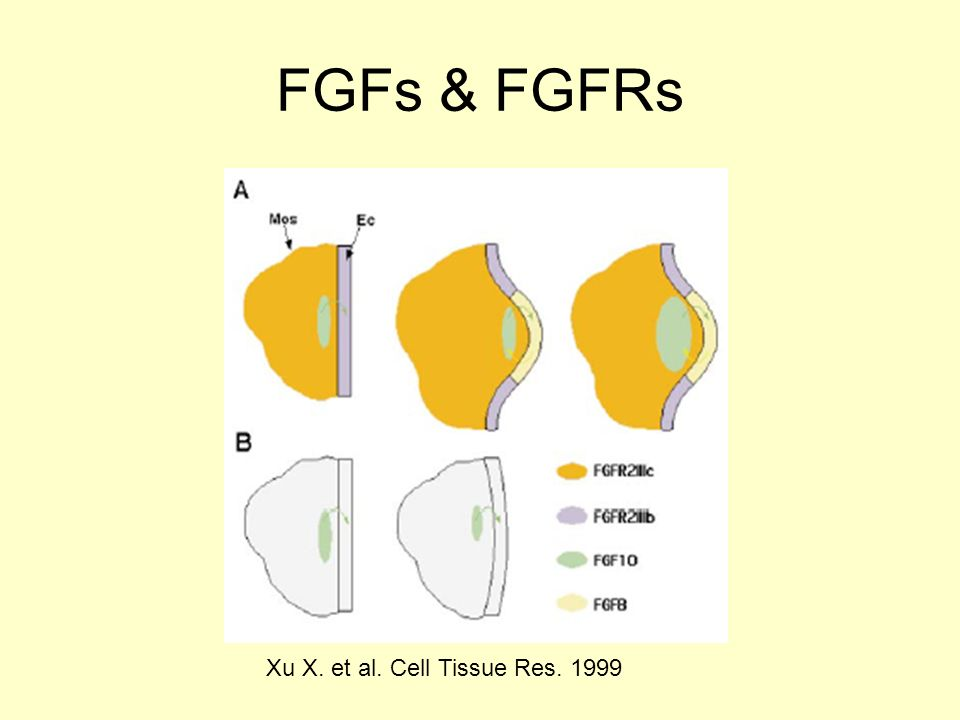 FGFs & FGFRs Xu X. et al. Cell Tissue Res. 1999