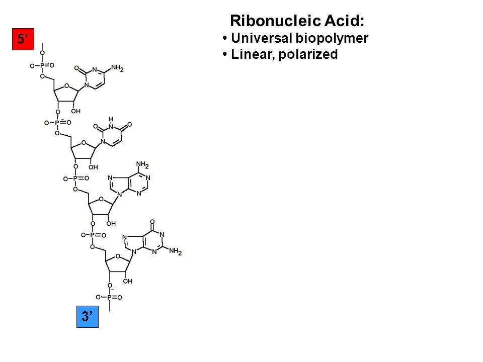 5 3 Ribonucleic Acid: Universal biopolymer Linear, polarized