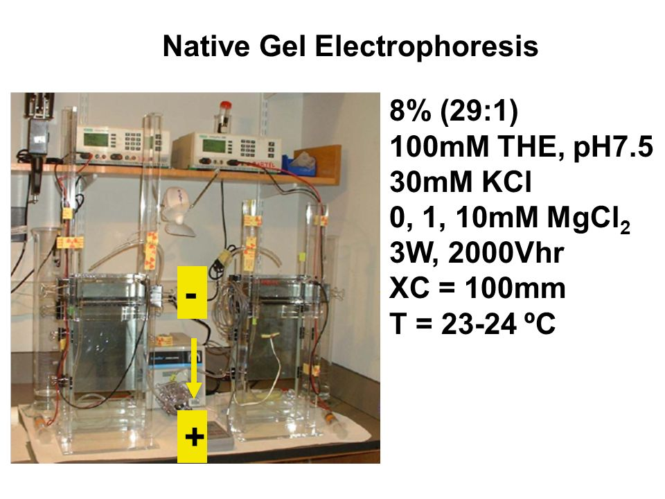 8% (29:1) 100mM THE, pH7.5 30mM KCl 0, 1, 10mM MgCl 2 3W, 2000Vhr XC = 100mm T = 23-24 ºC Native Gel Electrophoresis - +