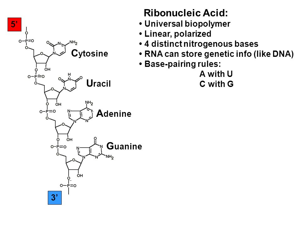 5 3 C ytosine U racil A denine G uanine Ribonucleic Acid: Universal biopolymer Linear, polarized 4 distinct nitrogenous bases RNA can store genetic info (like DNA) Base-pairing rules: A with U C with G