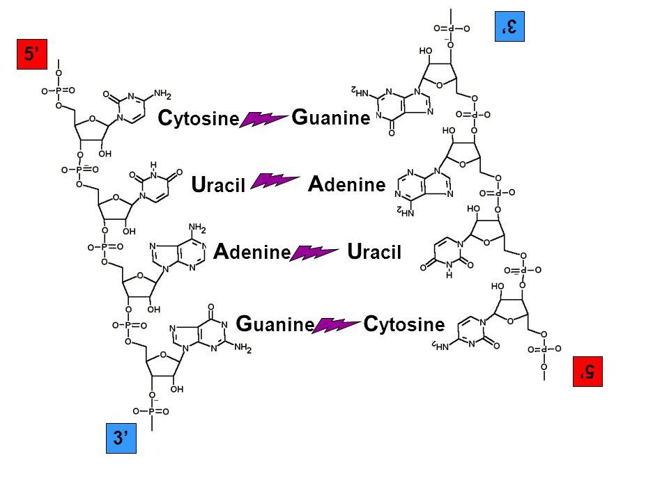 5 3 C ytosine U racil A denine G uanine 5 3 C ytosine U racil A denine G uanine